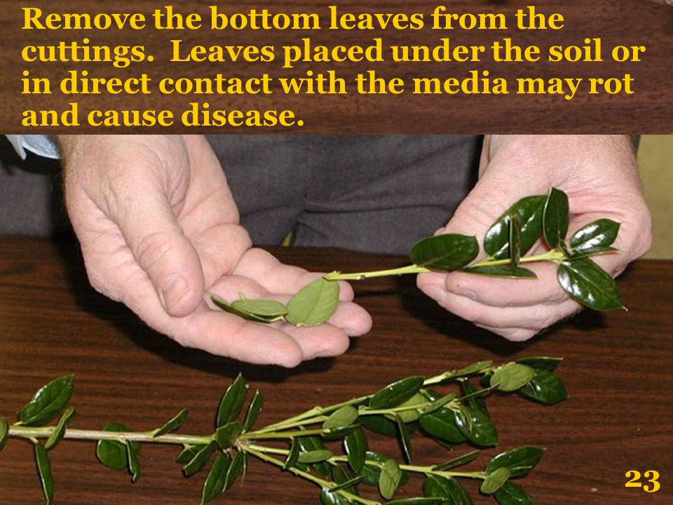 Remove the bottom leaves from the cuttings