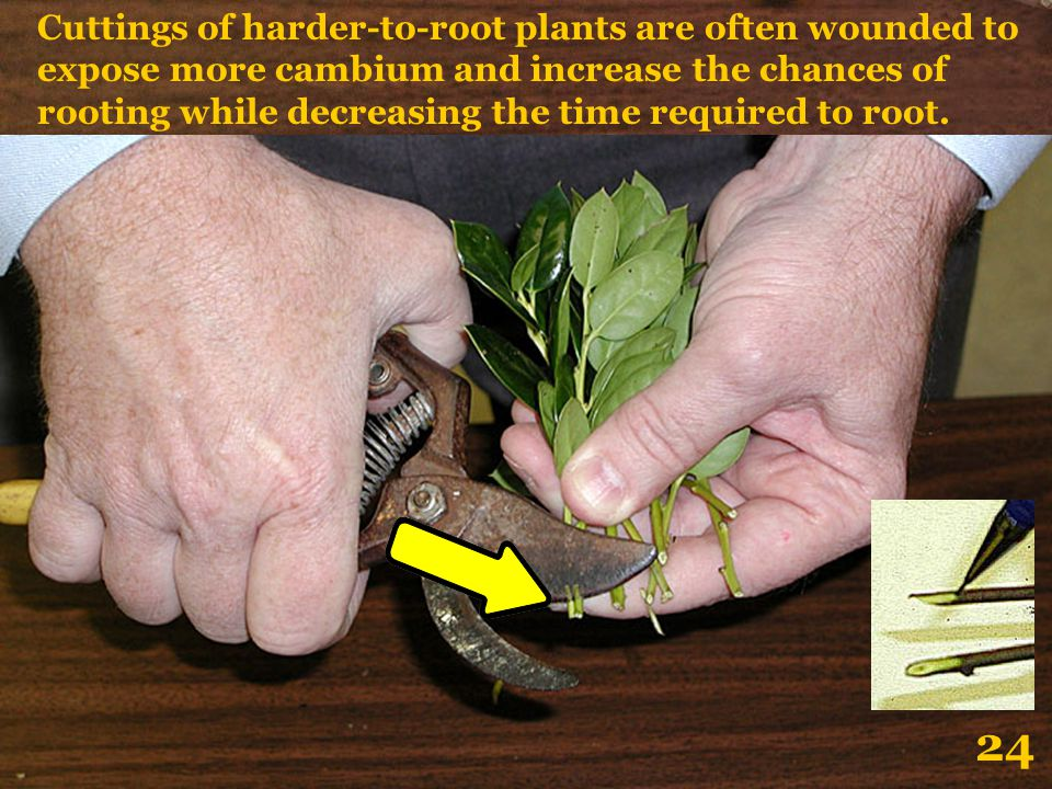 Cuttings of harder-to-root plants are often wounded to expose more cambium and increase the chances of rooting while decreasing the time required to root.