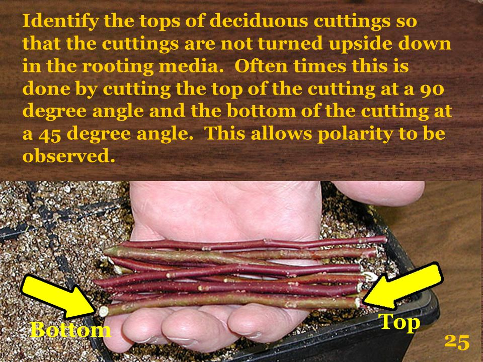 Identify the tops of deciduous cuttings so that the cuttings are not turned upside down in the rooting media. Often times this is done by cutting the top of the cutting at a 90 degree angle and the bottom of the cutting at a 45 degree angle. This allows polarity to be observed.