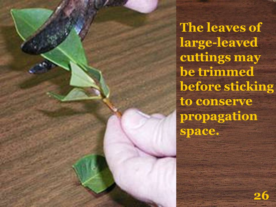 The leaves of large-leaved cuttings may be trimmed before sticking to conserve propagation space.