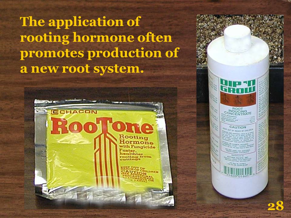 The application of rooting hormone often promotes production of a new root system.