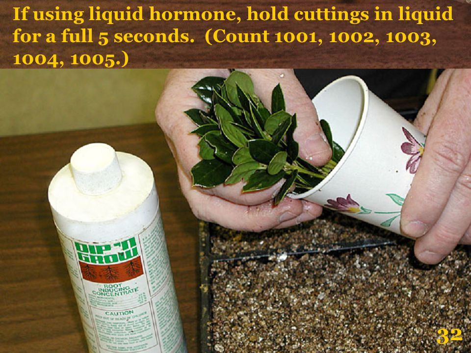 If using liquid hormone, hold cuttings in liquid for a full 5 seconds