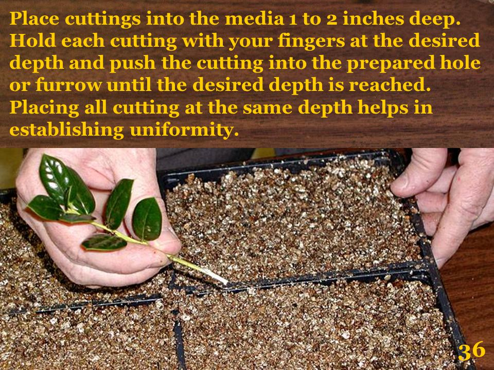 Place cuttings into the media 1 to 2 inches deep