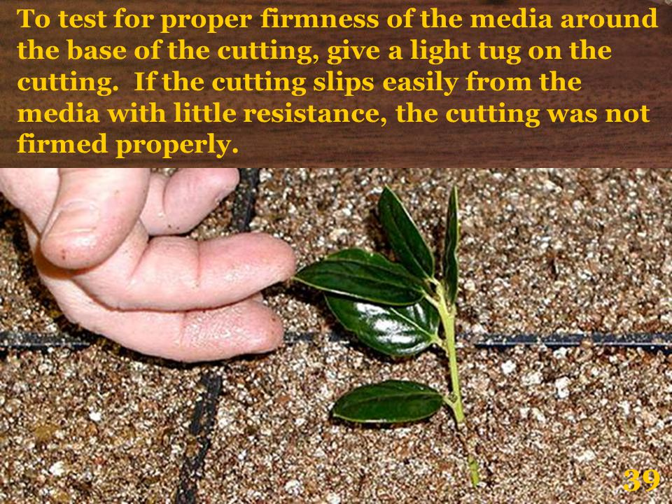 To test for proper firmness of the media around the base of the cutting, give a light tug on the cutting. If the cutting slips easily from the media with little resistance, the cutting was not firmed properly.