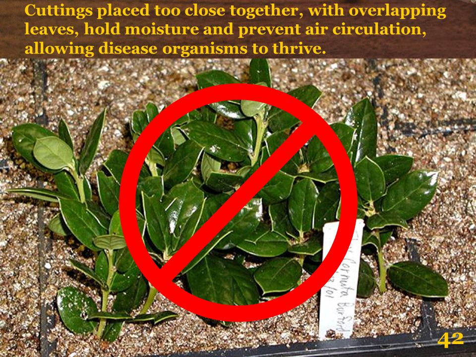 Cuttings placed too close together, with overlapping leaves, hold moisture and prevent air circulation, allowing disease organisms to thrive.