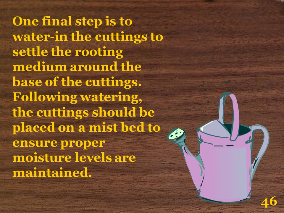 One final step is to water-in the cuttings to settle the rooting medium around the base of the cuttings. Following watering, the cuttings should be placed on a mist bed to ensure proper moisture levels are maintained.