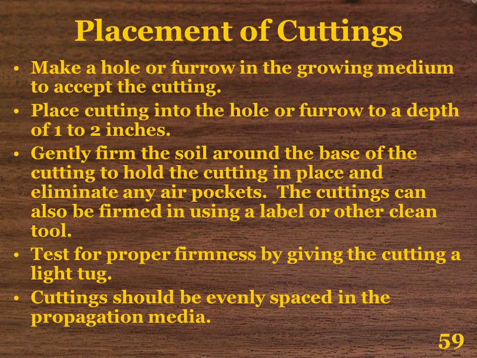 Placement of Cuttings Make a hole or furrow in the growing medium to accept the cutting.