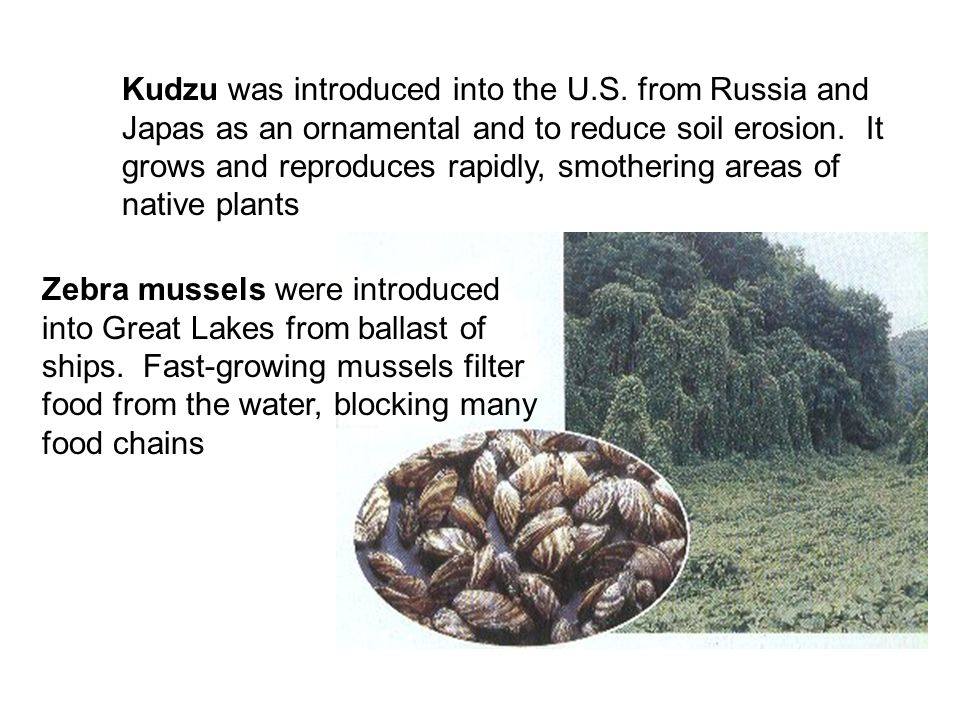 Kudzu was introduced into the U. S