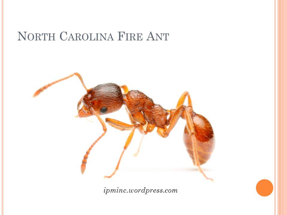 North Carolina Fire Ant