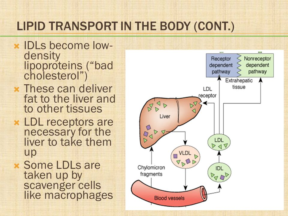 Lipid Transport in the Body (cont.)