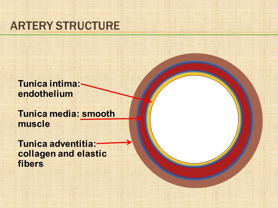 Artery Structure Tunica intima: endothelium