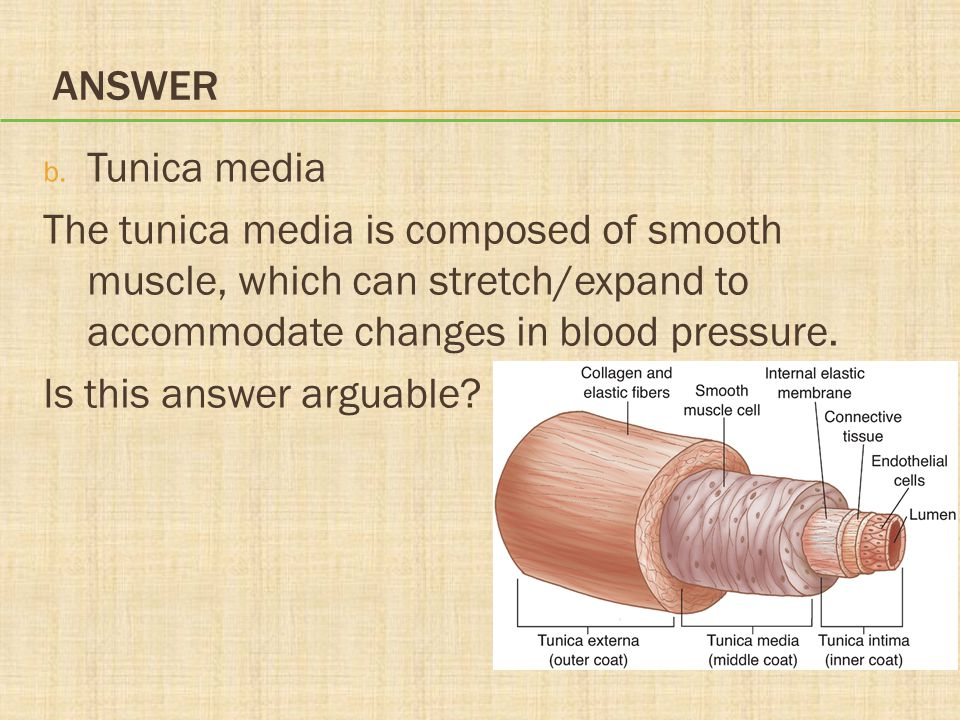 Answer Tunica media. The tunica media is composed of smooth muscle, which can stretch/expand to accommodate changes in blood pressure.