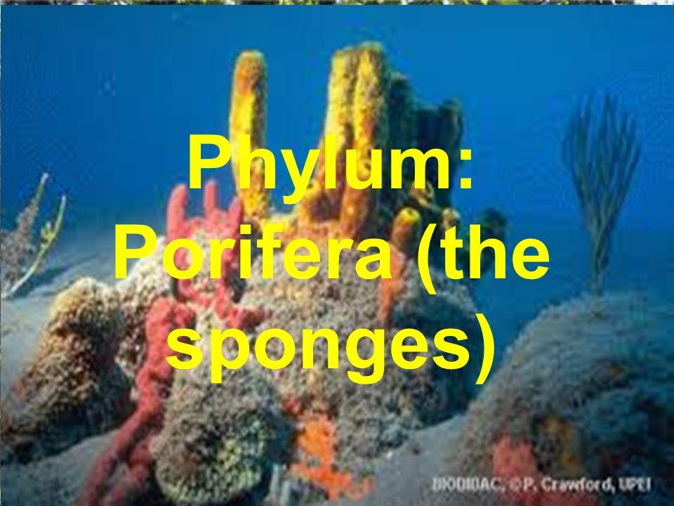 Phylum: Porifera (the sponges)