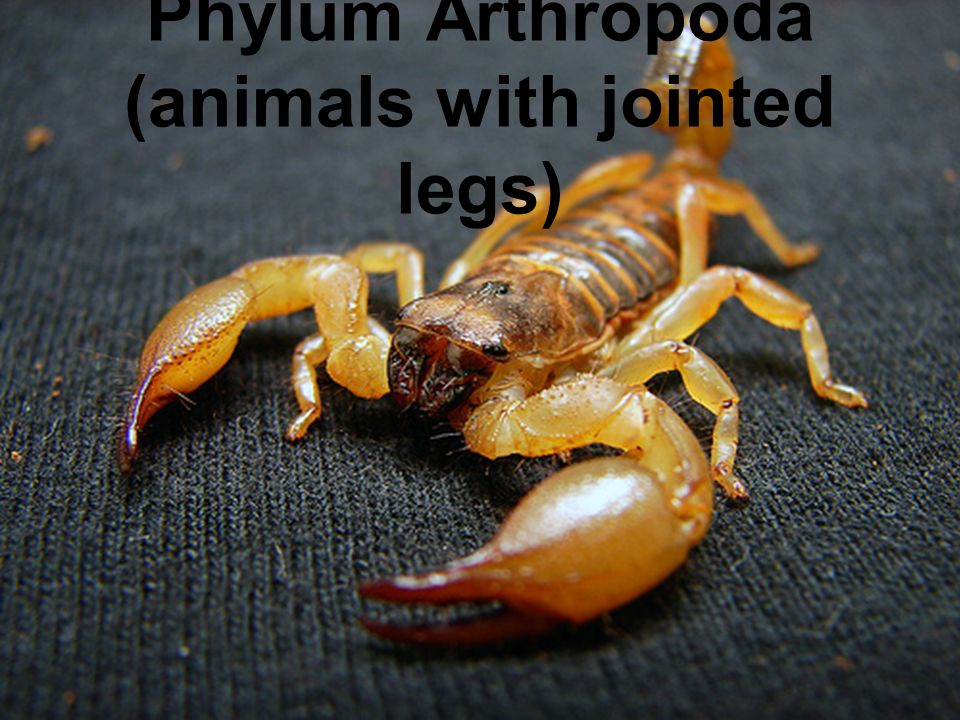 Phylum Arthropoda (animals with jointed legs)