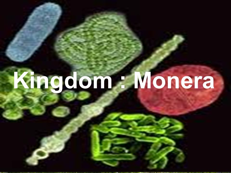 Kingdom : Monera