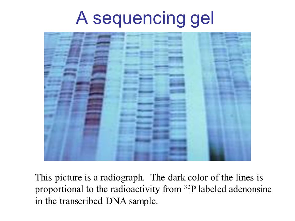 A sequencing gel This picture is a radiograph. The dark color of the lines is. proportional to the radioactivity from 32P labeled adenonsine.