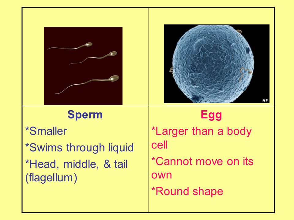 Sperm *Smaller. *Swims through liquid. *Head, middle, & tail (flagellum) Egg. *Larger than a body cell.