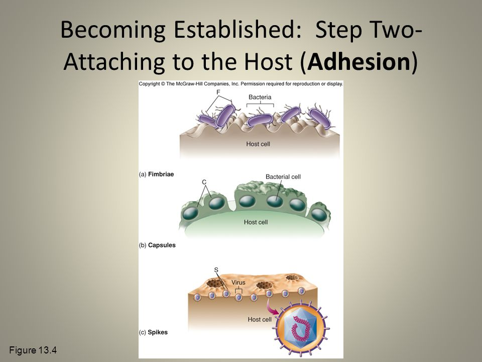Becoming Established: Step Two- Attaching to the Host (Adhesion)