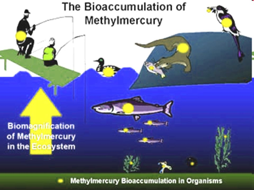1. Methylmercury is first taken up by bacteria and tiny plants and animals known as plankton.