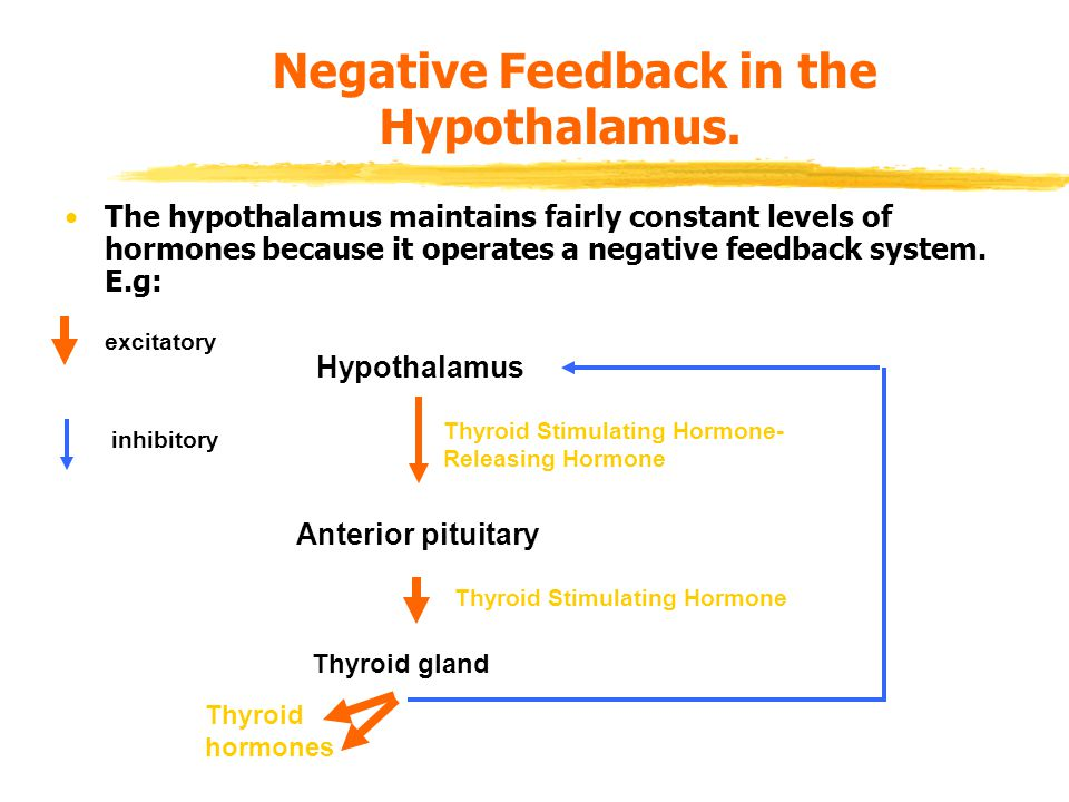 Negative Feedback in the Hypothalamus.