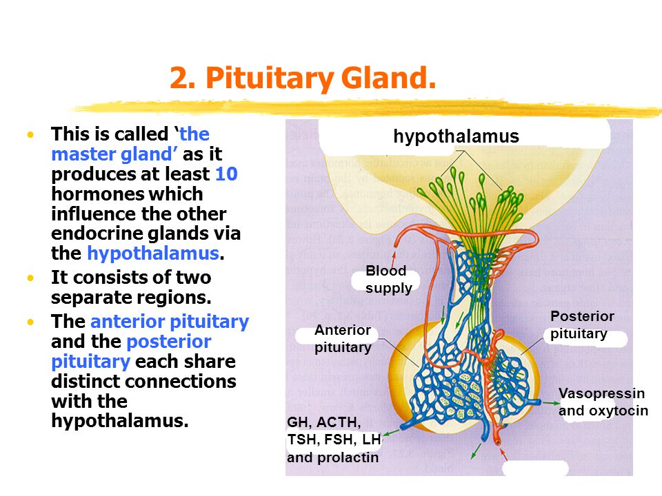 2. Pituitary Gland.
