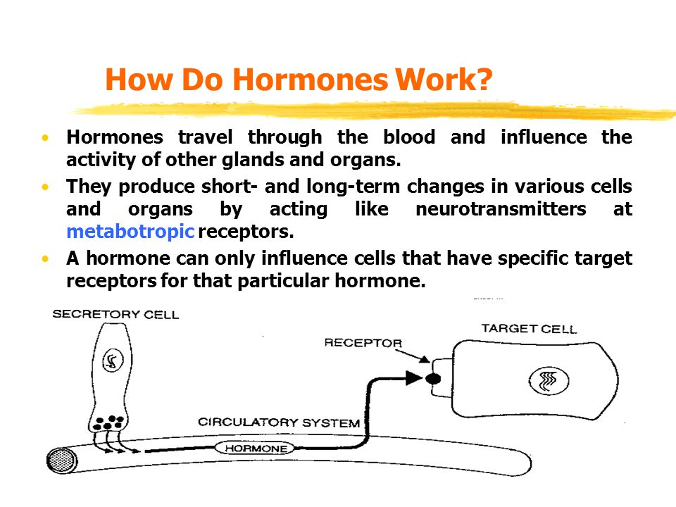 How Do Hormones Work Hormones travel through the blood and influence the activity of other glands and organs.