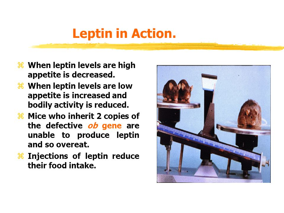 Leptin in Action. When leptin levels are high appetite is decreased.