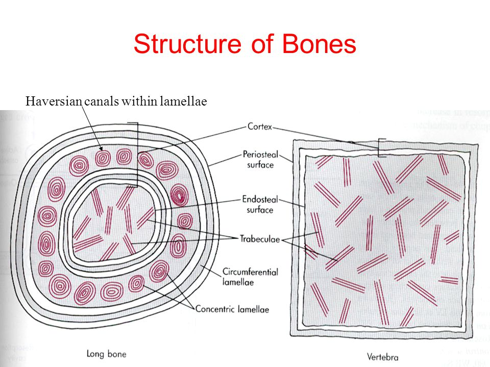 Structure of Bones Haversian canals within lamellae