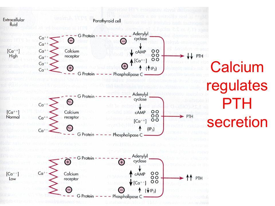 Calcium regulates PTH secretion