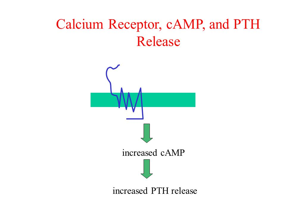 Calcium Receptor, cAMP, and PTH Release