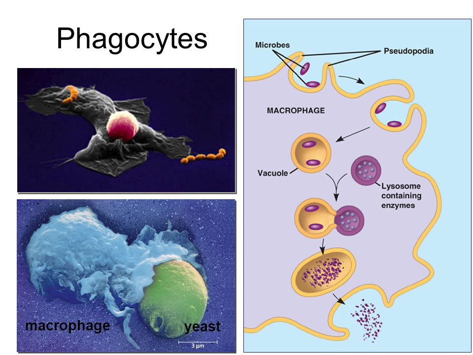 Phagocytes macrophage yeast