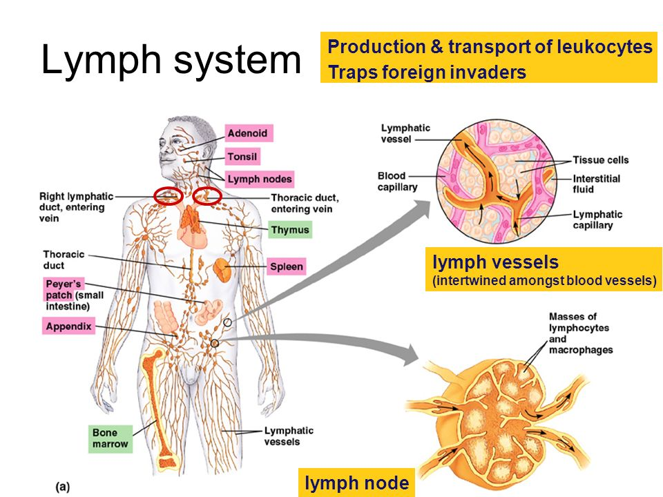 Lymph system Production & transport of leukocytes