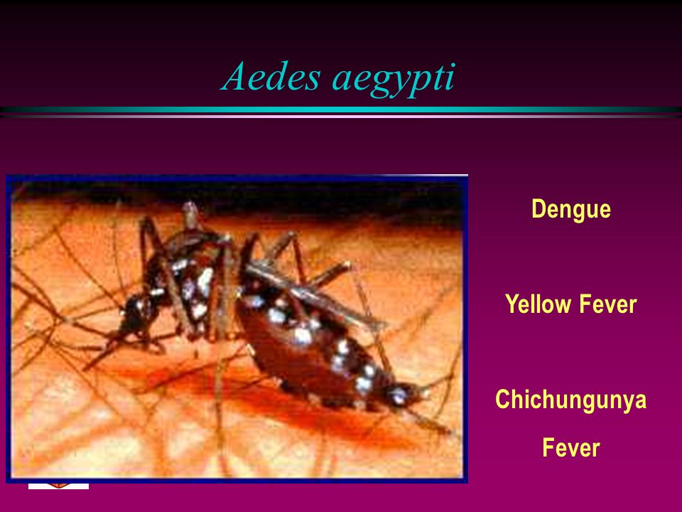 Aedes aegypti Dengue Yellow Fever Chichungunya Fever