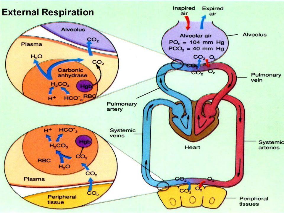 External Respiration 10