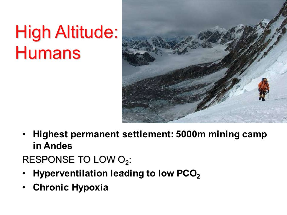High Altitude: Humans Highest permanent settlement: 5000m mining camp in Andes. RESPONSE TO LOW O2: