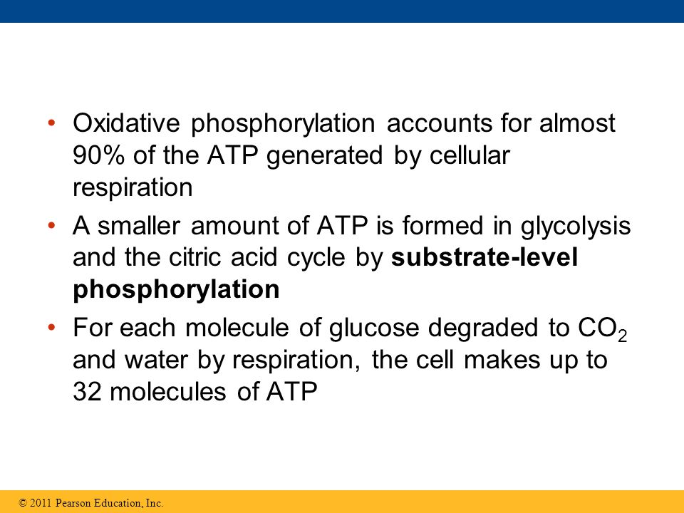 Oxidative phosphorylation accounts for almost 90% of the ATP generated by cellular respiration
