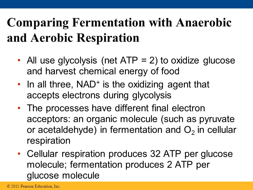Comparing Fermentation with Anaerobic and Aerobic Respiration