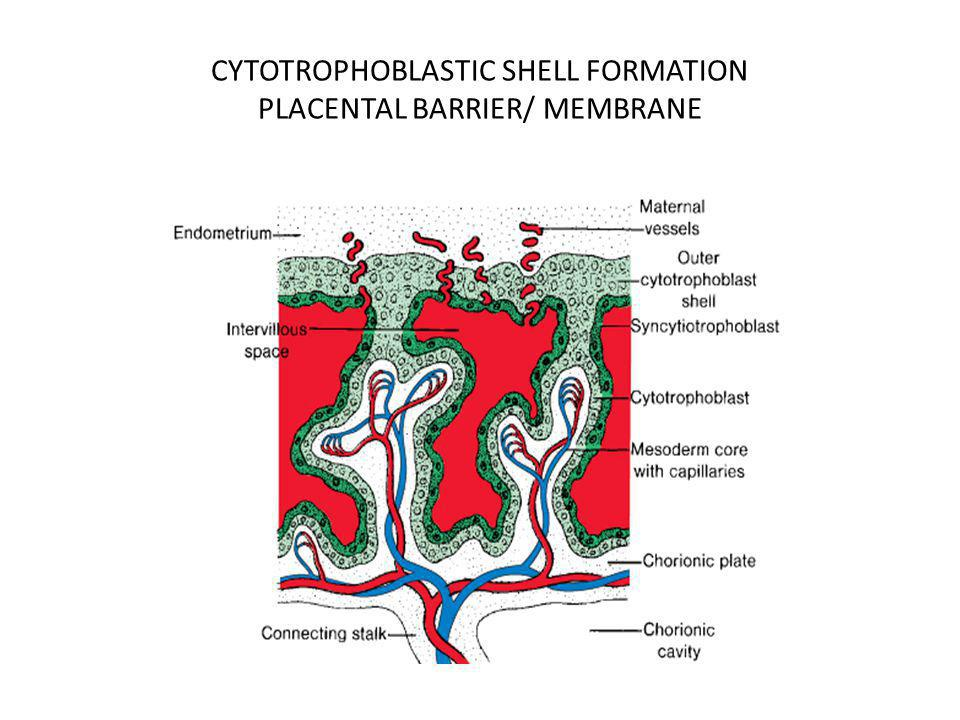 CYTOTROPHOBLASTIC SHELL FORMATION PLACENTAL BARRIER/ MEMBRANE