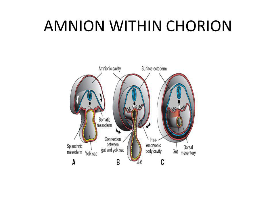 AMNION WITHIN CHORION