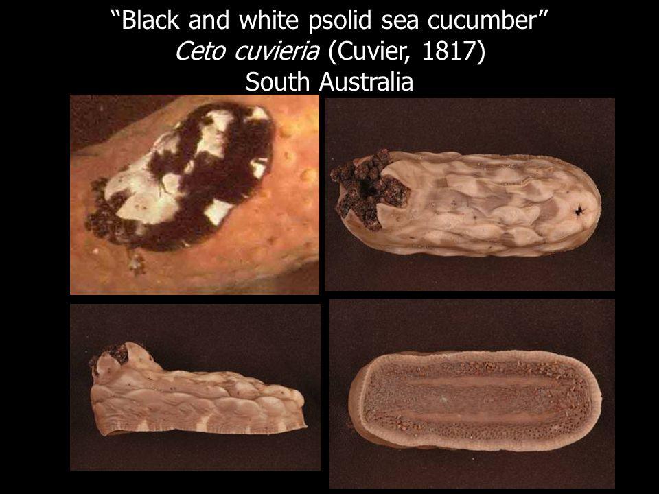 Black and white psolid sea cucumber Ceto cuvieria (Cuvier, 1817)