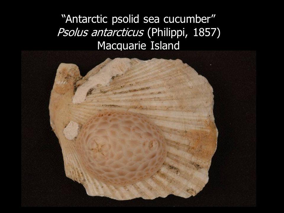Antarctic psolid sea cucumber Psolus antarcticus (Philippi, 1857)