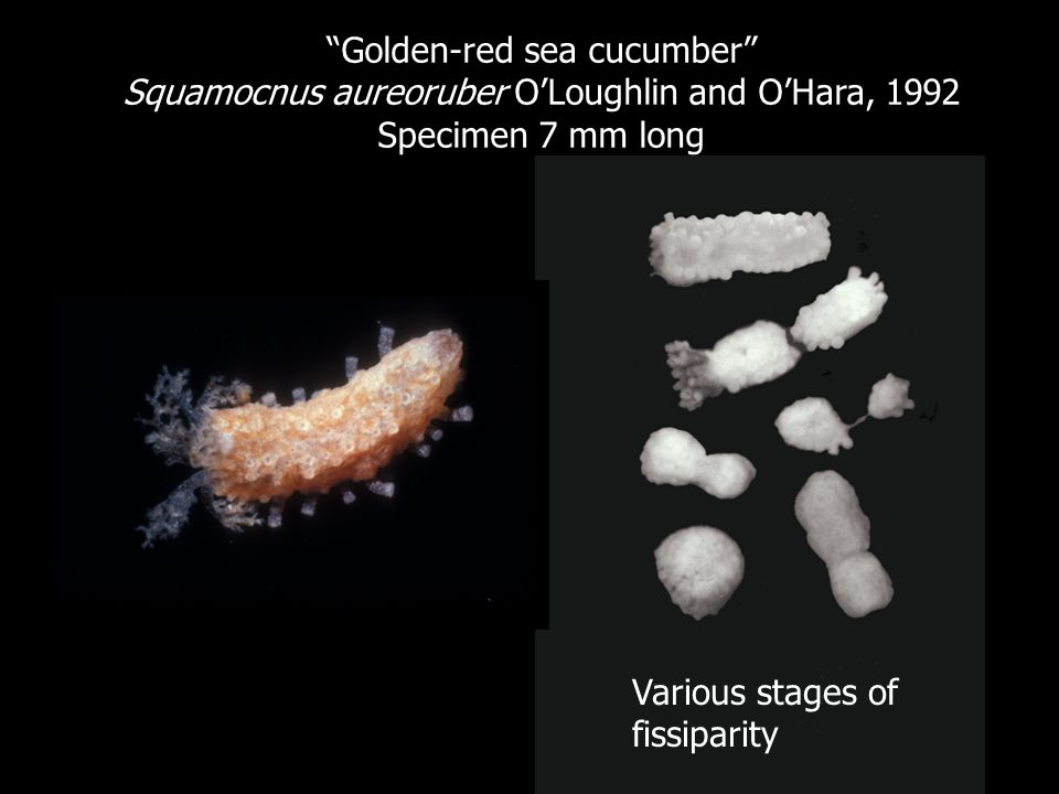 Golden-red sea cucumber
