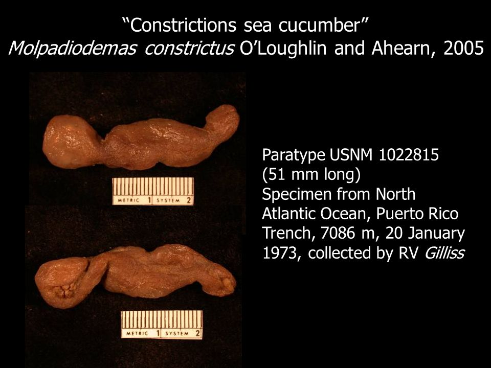 Constrictions sea cucumber