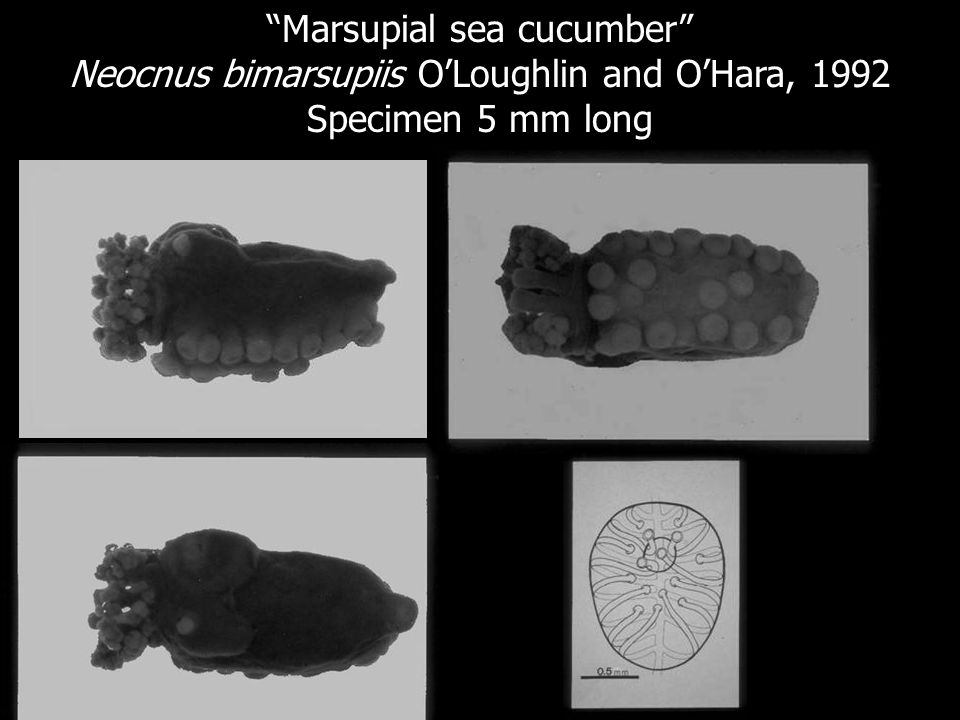Marsupial sea cucumber
