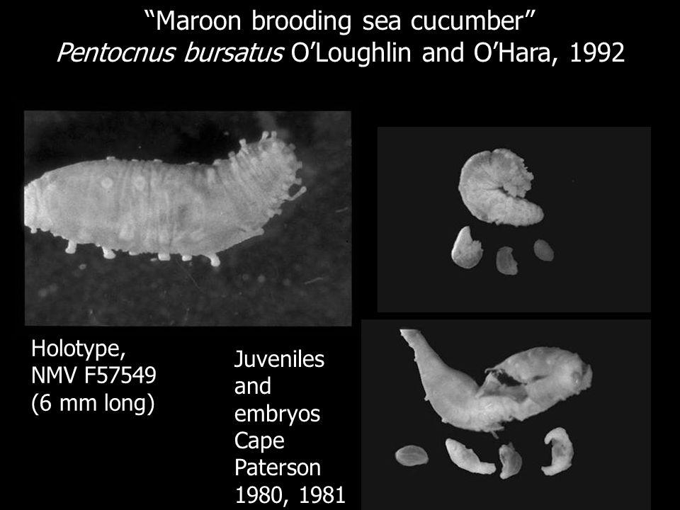 Maroon brooding sea cucumber