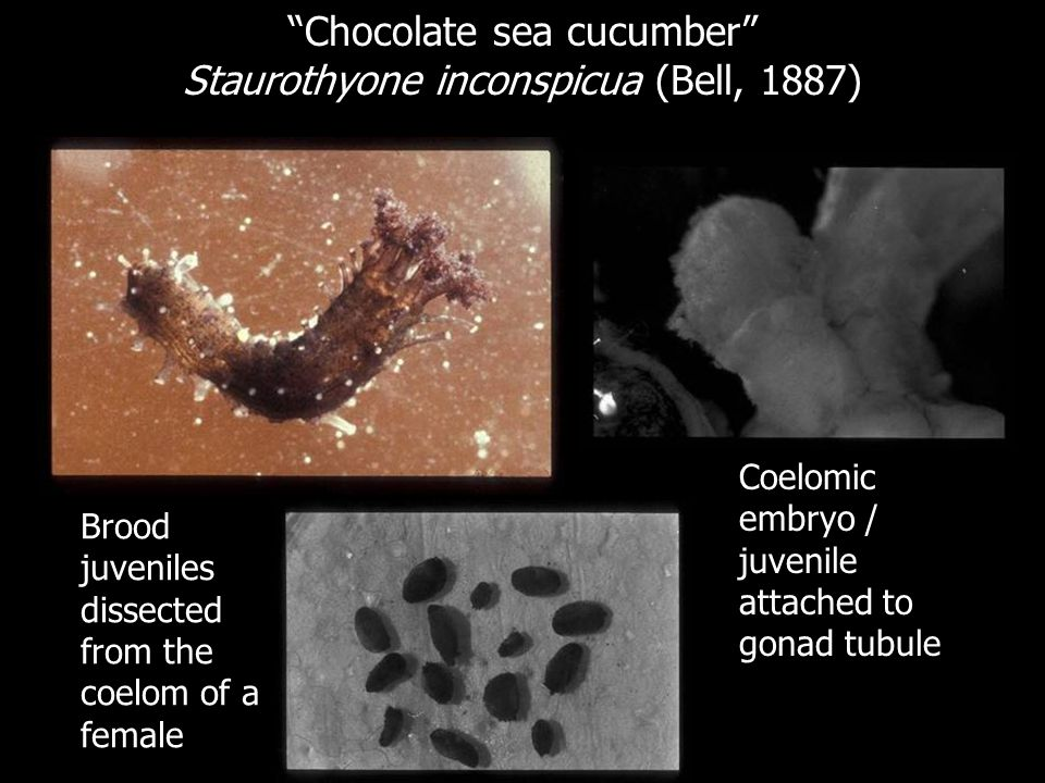Chocolate sea cucumber Staurothyone inconspicua (Bell, 1887)