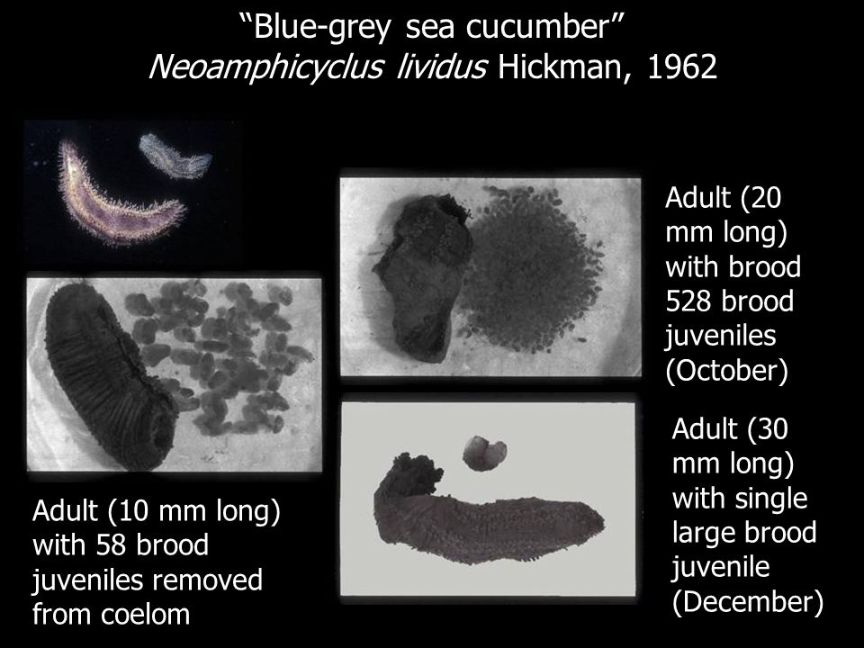 Blue-grey sea cucumber Neoamphicyclus lividus Hickman, 1962