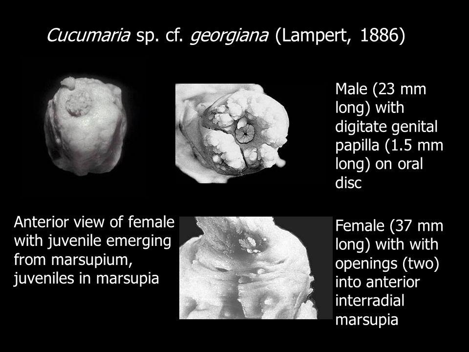 Cucumaria sp. cf. georgiana (Lampert, 1886)