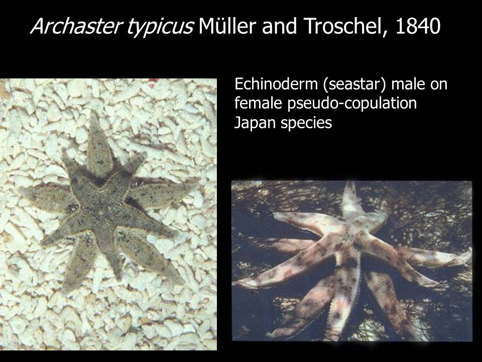 Archaster typicus Müller and Troschel, 1840