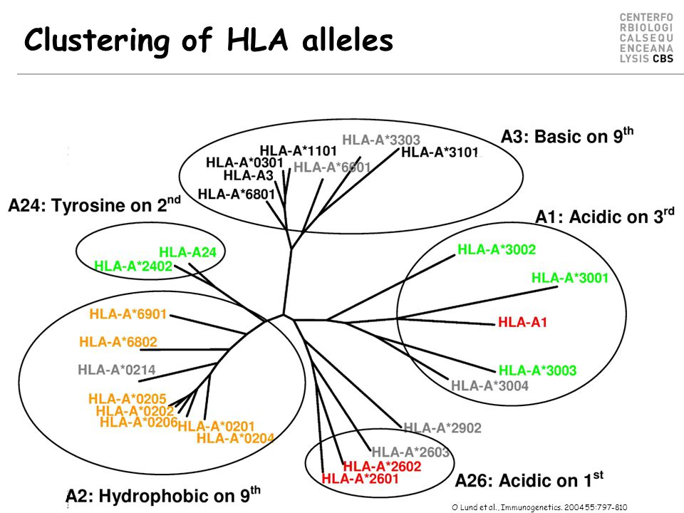 Clustering of HLA alleles